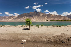 A lone sheep and a lone tree by the river, Tibet Stock Image