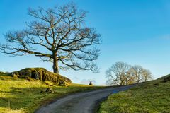 A lone sheep peeping over a rise between two bare trees Stock Image
