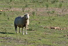 A lone sheep. A single sheep in a field Stock Photos