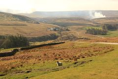 A lone sheep on baron moorland. A lone sheep standing alone on a baron moorland landscape with brown winter heather not yet in its summer colours,heather burning royalty free stock photography