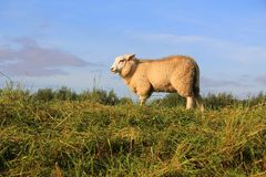 Lone sheep standing in a field. Stock Photos