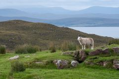 Lone sheep stands on a rocky outcrop in the countryside of the Scottish Highlands, north of Ullapool, in north west Scotland. A lone sheep standing on a rocky royalty free stock photos