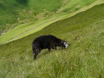 Lone sheep on steep grassy bank Stock Images