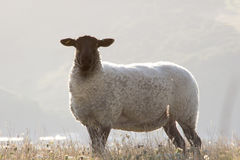 Lone sheep on a sussex hillside Royalty Free Stock Photos