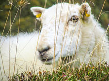 lone sheep Royalty Free Stock Photography