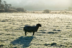 The Lone Sheep Stock Images