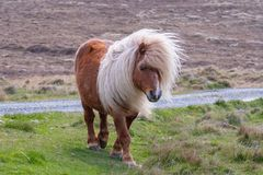A lone Shetland Pony walking on grass near a singletrack road on stock images