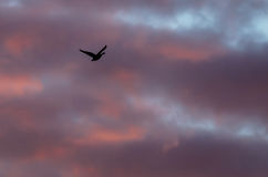 Lone Silhouetted Goose Flying in the Beautiful Sunset Sky. Lone Silhouetted Goose Flying in the Beautiful Clouds of the Sunset Sky Royalty Free Stock Images