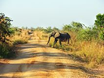 African elephant walking across red dusty road Africa. A lone single elephant is walking across the red dusty road in one nature park reserve in Africa, wild and stock photo