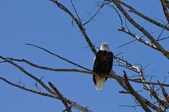 lone skallig örn för american Royaltyfria Bilder