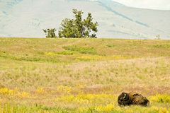 Lone Sleeping Bison on Prairie Stock Images