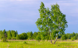 Lone slender birch on green field Stock Images