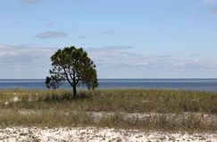 Lone small pine tree on an empty grassy beach. With blue sky and clouds Stock Photo