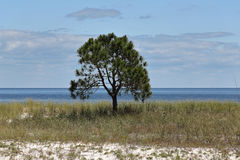 Lone small pine tree on an empty grassy beach. With blue sky and clouds Stock Photography