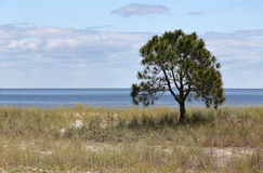 Lone small pine tree on an empty grassy beach. With blue sky and clouds Royalty Free Stock Photos
