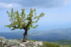 A lone small tree, fanned by the wind Royalty Free Stock Photography