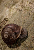 Lone Snail. Close up of snail on tree bark, fill flash Stock Photos