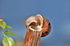 Lone snail free climbing a stick as a bridge Royalty Free Stock Photos