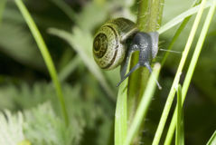 Lone snail on a plant stalk Stock Photo