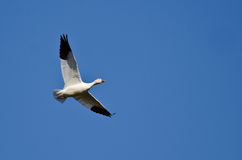 Lone Snow Goose Flying in a Blue Sky Royalty Free Stock Photo