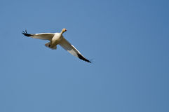Lone Snow Goose Flying in a Blue Sky Royalty Free Stock Images