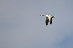 Lone Snow Goose Flying in a Blue Sky Royalty Free Stock Photography