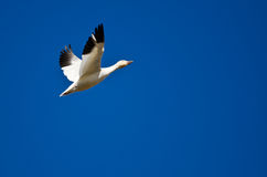 Lone Snow Goose Flying in a Blue Sky Stock Image
