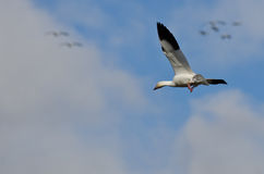 Lone Snow Goose Flying in the Clouds Royalty Free Stock Photo