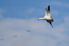 Lone Snow Goose Flying in the Clouds Stock Images