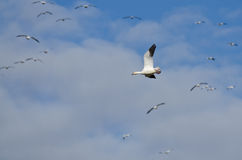 Lone Snow Goose Flying in the Clouds Royalty Free Stock Photos