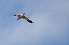 Lone Snow Goose Flying in a Cloudy Sky Stock Photos
