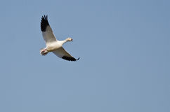 Lone Snow Goose Flying In A Blue Sky Stock Photo