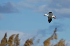 Lone Snow Goose Landing in the Marsh Stock Image