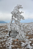 A lone snowtree. Snowy tree on Ai-Petri mountain Royalty Free Stock Image
