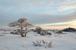 Lone snowy pine tree Royalty Free Stock Photography