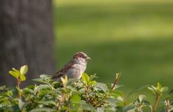 Lone sparrow Stock Photos
