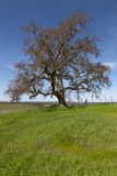 Lone Spring Oak Tree Stock Photo