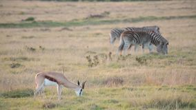 A lone springbok grazes in a field with two zebras stock video footage