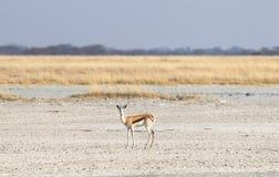 Lone springbok in the Makgadikgadi royalty free stock images