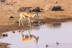 Lone springbok at pool Royalty Free Stock Photography