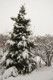 A lone spruce covered with fresh white fluffy snow. Royalty Free Stock Image