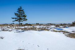 Lone spruce. Tree at the Great Alvar Plain located on the island Oland in south-eastern Sweden Royalty Free Stock Photography