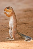 Lone Squirrel feeding on the ground, Samburu, Keny Stock Photo
