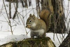 Lone squirrel in a winter scene Stock Photo