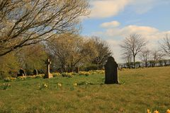 Lone standing headstones. In 17th century graveyard with odd groups of daffodils scattered on a grassy field, a background of differing trees shades under blue stock images