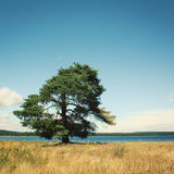 Lone standing pine-tree on a shore. Kenozero lake. Stock Photos