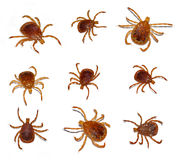 Lone star tick insect. Multiple poses of male and female lone star ticks  on white background Stock Photo