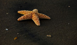 Lone starfish Royalty Free Stock Images