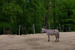 Zebra in forest royalty free stock photography
