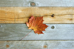 Lone Sugar Maple Leaf on Rustic Wood Background Royalty Free Stock Image